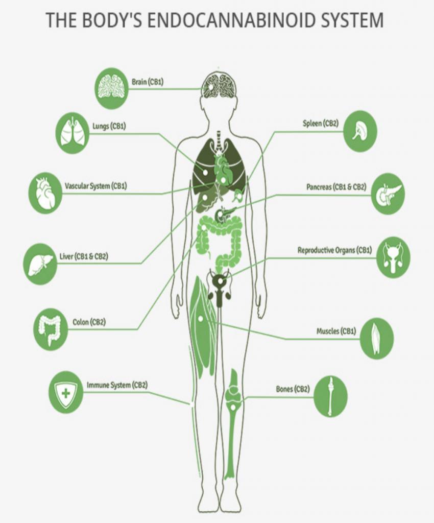 endo cannabinoïden systeem